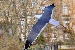 Lesser black-backed gull (Larus fuscus) in flight past residential buildings, Bath, UK, March. - Nick Upton