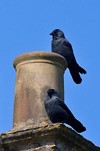 Jackdaw (Corvus monedula) pair perched on a house chimney they are nesting in, Wiltshire, UK, April. - Nick Upton