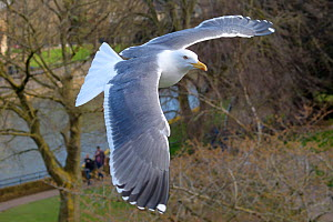 Lesser black-backed gull (Larus fuscus) in flight over Parade Gardens Park by the River Avon, Bath, UK, March. - Nick Upton