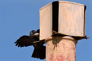 Jackdaw (Corvus monedula) flying to a chimney it is nesting in with nest material, Wiltshire, UK, April. - Nick Upton