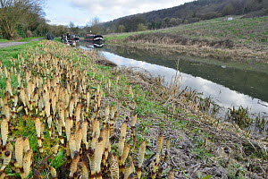 Dense stand of Great horsetail (Equisteum telmateia) spore cones emerging from canal bank, Bathampton, Bath and northeast Somerset, UK, March. - Nick Upton