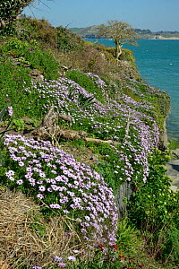 Mass of flowering African daisies (Osteospermum sp.) covering a garden wall beside the Camel Estuary, near Padstow, Cornwall, UK, April.  -  Nick Upton