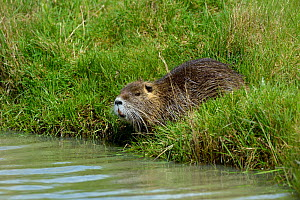 Coypu (Myocastor coypus) in grassland, Marais Breton, Vendée, France, March. Invasive species. - Loic  Poidevin