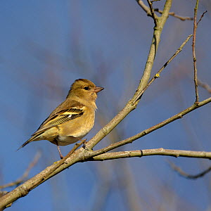Common chaffinch (Fringilla coelebs) female perched, Vendee, France, January  -  Loic  Poidevin