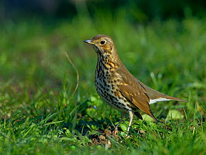 Song thrush (Turdus philomelos) standing in grass, Vendee, France, January. - Loic  Poidevin