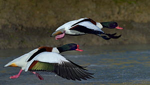 Two Common shelducks (Tadorna tadorna) in flight, Marais Breton, Vendée, France, January.  -  Loic  Poidevin