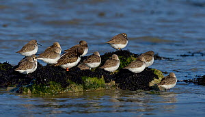 Dunlin (Calidris alpina) group with one Ruddy turnstone (Arenaria interpres) and one Common ringed plover (Charadrius hiaticula), Marais Breton, Vendée, France, January.  -  Loic  Poidevin