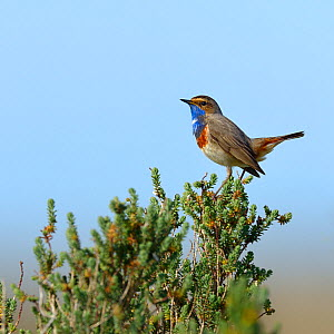 Bluethroat (Luscinia svecica) male on a branch, Vendee, France,March.  -  Loic  Poidevin