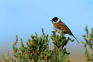 Common Reed Bunting (Emberiza schoeniclus) on a branch, Vendee, France, March.  -  Loic  Poidevin