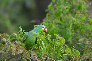 Red-lored parrot (Amazona autumnalis) Darien National Park UNESCO World Heritage Site, Panama.  -  David Tipling