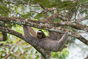 Brown-throated sloth  (Bradypus variegatus) female. seen from canopy tower, Soberiana NP,  Panama.  -  David Tipling