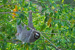 Brown-throated Sloth  (Bradypus variegatus) female, seen from canopy tower, Soberiana NP,  Panama.  -  David Tipling