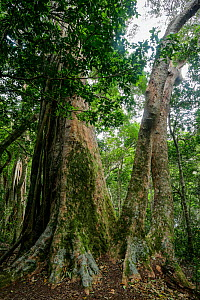 Strangler fig growing over Hoop Pine tree(Araucaria cunninghamii) in  rainforest on Morans Falls Track, Green Mountains, Lamington National Park, Rainforests of Australia UNESCO World Heritage Site, Q...  -  Oriol  Alamany