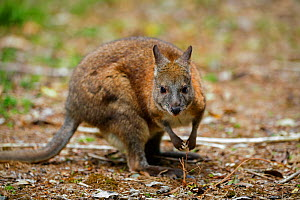 Red-necked pademelon (Thylogale thetis) in Green Mountains rainforest of Lamington National Park, Rainforests of Australia UNESCO World Heritage Site, Queensland, Australia  -  Oriol  Alamany