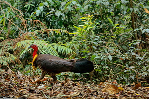 Australian Brush-turkey (Alectura lathami), male digging for food on the forest floor, Green Mountains rainforest, Lamington National Park, Rainforests of Australia UNESCO World Heritage Site, Queensl...  -  Oriol  Alamany