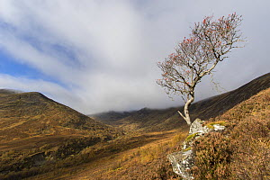 Rowan tree (Sorbus aucuparia) in upland setting in autumn, Creag Meagaidh National Nature Reserve, Scotland, UK, October 2016. - SCOTLAND: The Big Picture