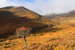Rowan (Sorbus aucuparia) tree in upland setting, Creag Meagaidh National Nature Reserve, Scotland, UK, October 2016. - SCOTLAND: The Big Picture