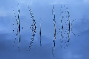 Rushes reflected in water at dawn, Scotland, UK, September.  -  SCOTLAND: The Big Picture