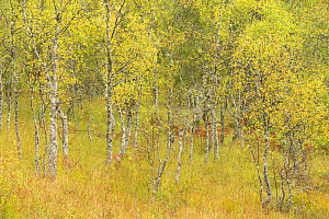Silver birch (Betula pendula) trees in early autumn, Craigellachie National Nature Reserve, Aviemore, Cairngorms National Park, Scotland, UK, September.  -  SCOTLAND: The Big Picture
