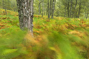 Birch woodland and bracken in early autumn, Craigellachie National Nature Reserve, Aviemore, Cairngorms National Park, Scotland, UK, September 2016.  -  SCOTLAND: The Big Picture