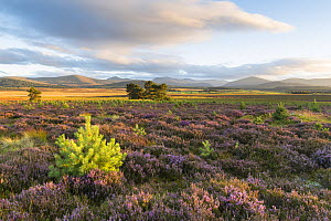 Scots pine (Pinus sylvestris) saplings amongst heather moorland with flowering Ling / Common heather (Calluna vulgaris), in evening light, Cairngorms National Park, Scotland, UK, September 2016. - SCOTLAND: The Big Picture
