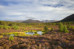 Scots pine (Pinus sylvestris) saplings on heather moorland in summer, Cairngorms National Park, Scotland, UK, August 2016. - SCOTLAND: The Big Picture