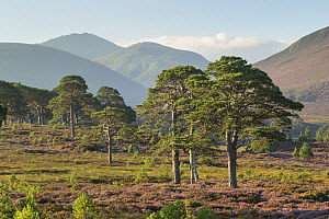 Scots pines (Pinus sylvestris) and flowering heather moorland with mountains in background, Cairngorms National Park, Scotland, UK, August 2016.  -  SCOTLAND: The Big Picture