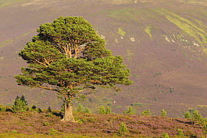 Mature Scots pine (Pinus sylvestris) surrounded by saplings in flowering heather moorland, Cairngorms National Park, Scotland, UK, August 2016. - SCOTLAND: The Big Picture