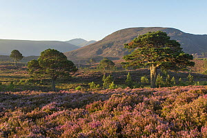 Scots pines (Pinus sylvestris) and flowering heather moorland in morning light, Cairngorms National Park, Scotland, UK, August 2016.  -  SCOTLAND: The Big Picture
