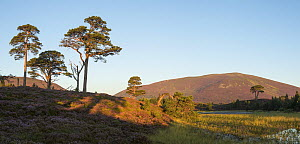 Flowering heather and scattered Scots pines (Pinus sylvestris) in morning light with Meall a' Bhuachaille in background, Abernethy, Cairngorms National Park, Scotland, Uk, August 2016.  -  SCOTLAND: The Big Picture
