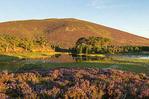 Flowering Common heather / Ling (Calluna vulgaris) with Scots Pines (Pinus sylvestris) and  Meall a' Bhuachaille in background. In morning light, Abernethy, Cairngorms National Park, Scotland, UK, Aug...  -  SCOTLAND: The Big Picture