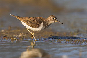 Common sandpiper (Actitis hypoleucos) feeding in muddy pool, St John's Pool Bird Reserve, Thurso, Caithness, Scotland, UK, May.  -  SCOTLAND: The Big Picture
