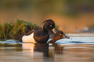 Tufted duck (Aythya fuligula) pair mating in morning light, St John's Pool Bird Reserve, Thurso, Caithness, Scotland, UK, May.  -  SCOTLAND: The Big Picture