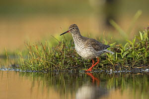 Redshank (Tringa totanus) at water's edge, St John's Pool Bird Reserve, Thurso, Caithness, Scotland, UK, May.  -  SCOTLAND: The Big Picture
