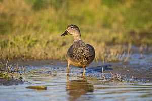 Gadwall (Anas strepera) drake standing in water, St John's Pool Bird Reserve, Thurso, Caithness, Scotland, UK, May.  -  SCOTLAND: The Big Picture