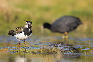 Lapwing (Vanellus vanellus) female with Coot (Fulica atra) in background, St John's Pool Bird Reserve, Thurso, Caithness, Scotland, UK, May. - SCOTLAND: The Big Picture