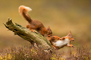 Red squirrels (Sciurus vulgaris), two squabbling on stump, Scotland, UK, April. - SCOTLAND: The Big Picture