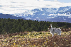 Mountain hare (Lepus timidus) on all fours in upland habitat with forest and mountain in background, Deeside, Cairngorms National Park, Scotland, UK, March 2016.  -  SCOTLAND: The Big Picture