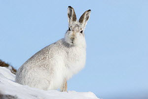 Mountain hare (Lepus timidus) in white winter coat, Scotland, UK, February. - SCOTLAND: The Big Picture