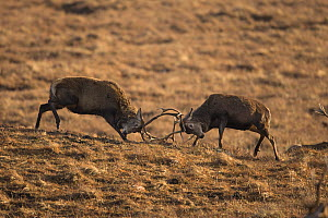 Red deer (Cervus elaphus) stags sparring during rutting season, February.  -  SCOTLAND: The Big Picture
