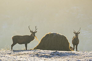 Red deer (Cervus elaphus) stags feeding on hay put out as supplementary winter feed, Scotland, UK, February. - SCOTLAND: The Big Picture