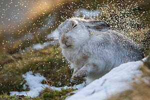 Mountain hare (Lepus timidus) shaking raindrops from coat, in winter pelage, Scotland, UK, January. - SCOTLAND: The Big Picture