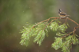Crested tit (Parus cristatus) perched on pine branch, Scotland, UK, February.  -  SCOTLAND: The Big Picture