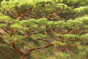 Scots Pine (Pinus sylvestris) branches blowing in wind, Scotland, UK, January. - SCOTLAND: The Big Picture