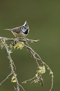 Crested tit (Parus cristatus) perching on lichen covered branch, Scotland, UK, January 2016.  -  SCOTLAND: The Big Picture
