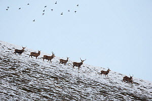 Red deer (Cervus elaphus) group of stags with Red grouse (Lagopus Lagopus scotius) flying overhead, Scotland, UK, January.  -  SCOTLAND: The Big Picture