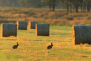 Two Brown hares (Lepus europaeus) in arable field with hay bales after harvest, Scotland, UK, July.  -  SCOTLAND: The Big Picture