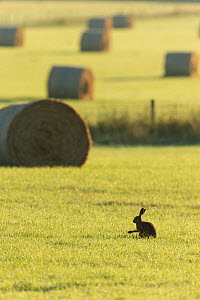 Brown hare (Lepus europaeus) in arable farmland with hay bales in background, Scotland, UK, July.  -  SCOTLAND: The Big Picture