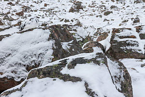 Ptarmigan (Lagopus mutus) male well camouflaged amongst snow covered boulders, Cairngorms National Park, Scotland, UK, February.  -  SCOTLAND: The Big Picture