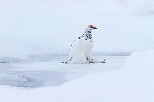 Ptarmigan (Lagopus mutus) male sitting after slipping and landing on ice, Cairngorms National Park, Scotland, UK, February. - SCOTLAND: The Big Picture